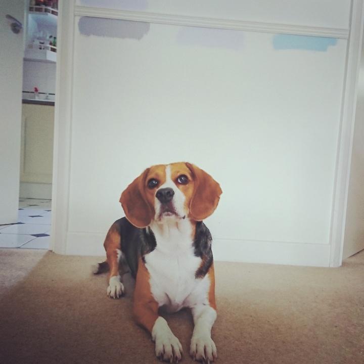 Juno the beagle